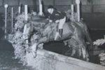 Rechter: koper krijgt aankoopprijs van overleden paard niet terug…